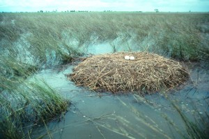 Typical Canegrass Wetland Brolga Breeding site on Boree Creek floodplain near Urana 2000