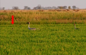 Brolga pair in rice crop with chick Jan 2013 Deniliquin NSW