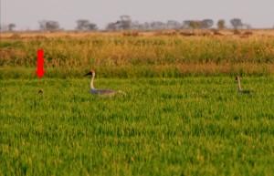 Brolga pair in rice crop with chick Jan 2013 Deniliquin NSW