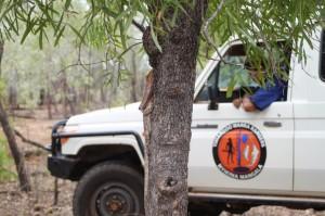 Nyikina Mangala Rangers spot a Frill-neck on the tree