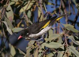 Painted Honeyeater DWebb