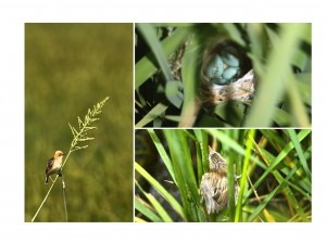 Golden-haeded Cisticolas breeding in rice