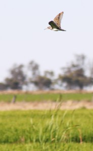 Australian Painted Snipe in flight over rice field MHERRING