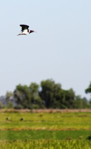 Australian Painted Snipe in fligth over rice field MHERRING